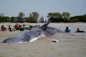 Ikan Paus Terdampar di Cilacap