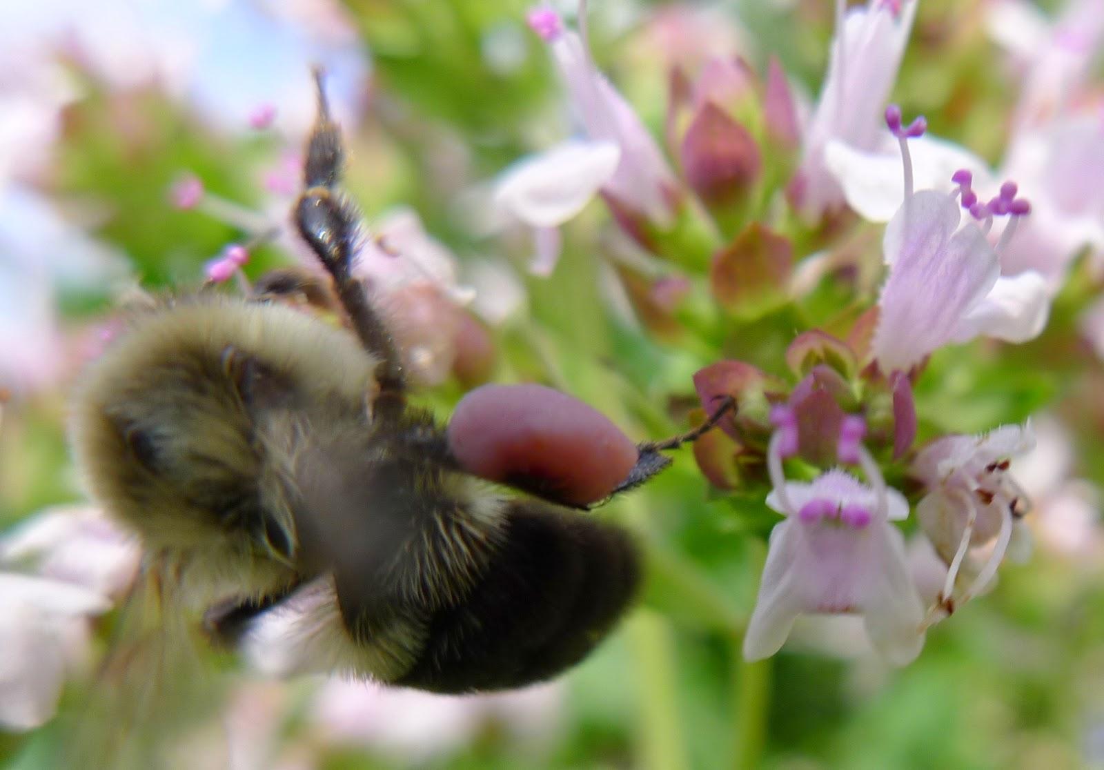 Bumble Bee on oregano, pollinators, urban farming