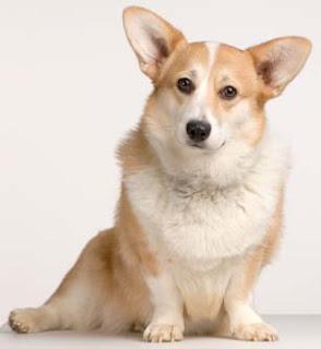 Welsh Corgi,mega interessante,cachorros,família real,curiosidade