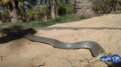 ular raksasa sepanjang 19 meter gemparkan warga