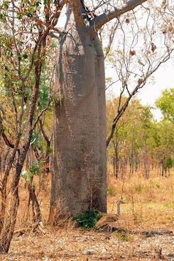 Australian Bustard next to a Boab Tree