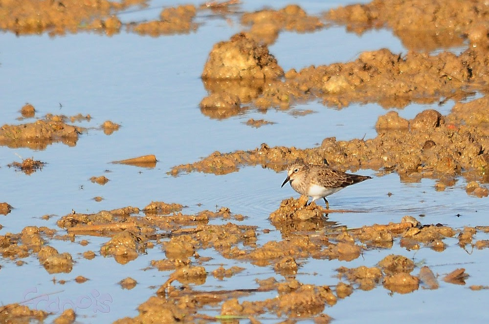 Correlimos de Temminck (Calidris temminckii) Temmink's Stint