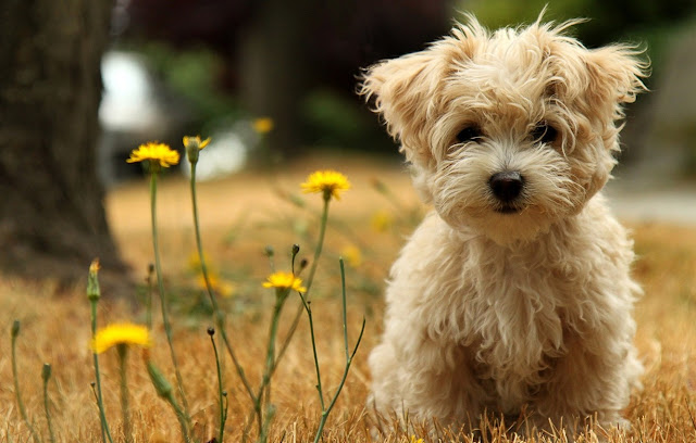 Temperament and Personality of Poodle Dogs