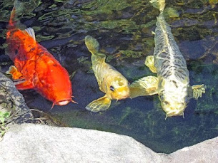 These beautiful fish......