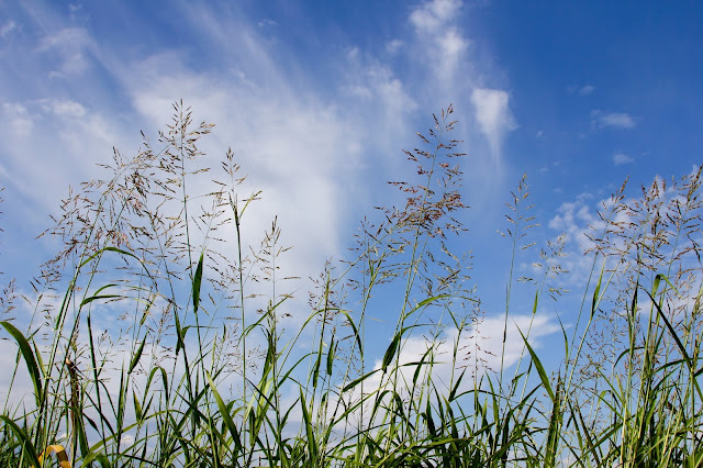 Tall Grass-Blue Sky-Wispy Clouds