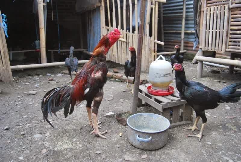 Cara memilih Indukan dan pacek ayam dengan mudah