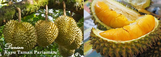 Lezatnya Durian Kayu Tanam Pariaman