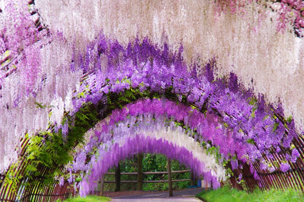 Wisteria Tunnel,Kitakyushu, Japan