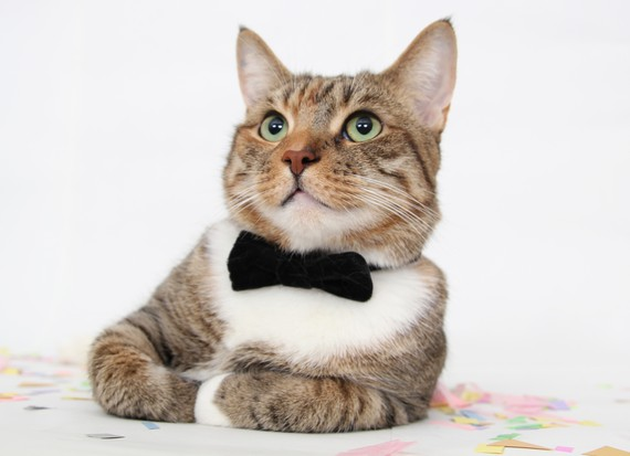 cats with ties, cats wear ties, cats in ties, cats wearing ties, tie-wearing cats, cute cat pictures