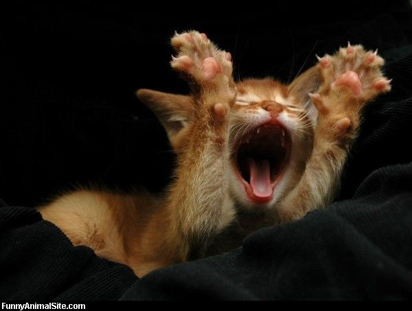 Funny cats: Cat yawning