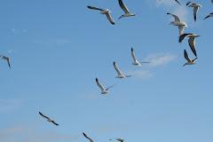 Black Skimmers & Gulls