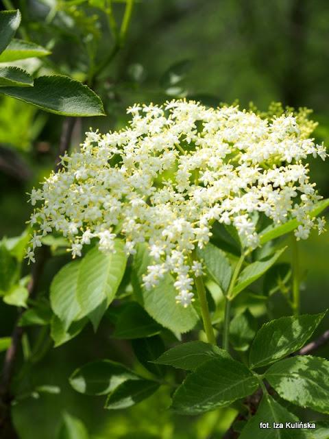kwiaty czarnego bzu , rośliny , grzybobranie , przetwory