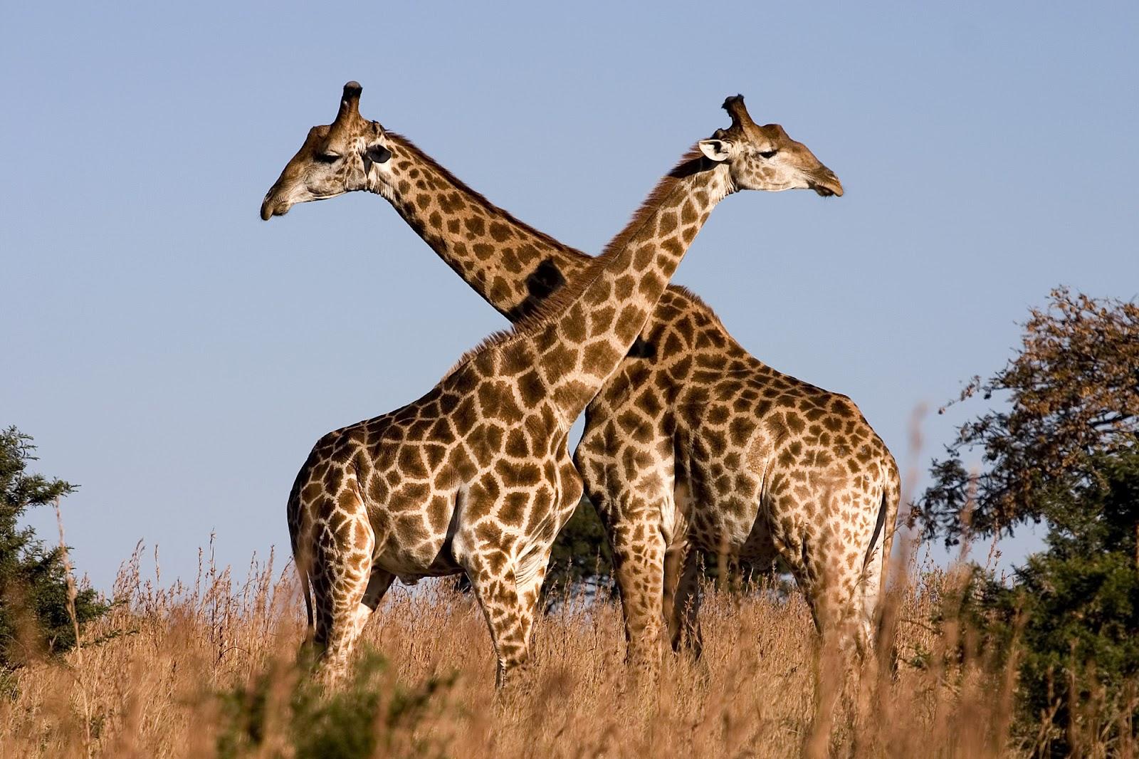 http://1.bp.blogspot.com/-O8VPtjfew9w/UCaytSZqnGI/AAAAAAAA7t4/0IVxGPFFIAI/s1600/giraffe-two-males-necking.jpg
