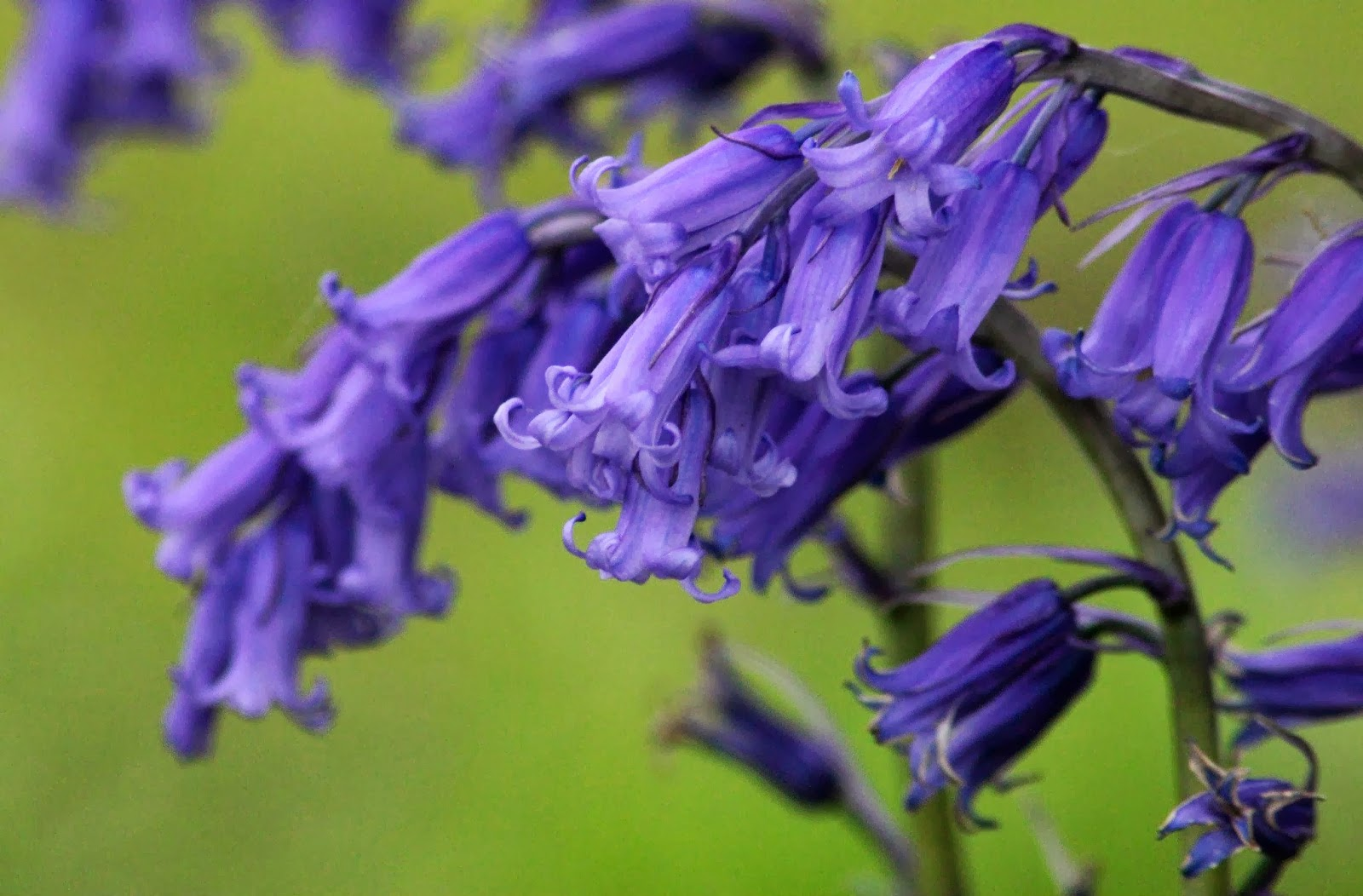 Lets Enjoy The Beauty Blue Bells Flower One Of The Worlds Most