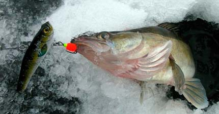 Раттлины на судака зимой