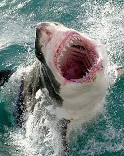 Cá Mập Trắng - Great White Shark