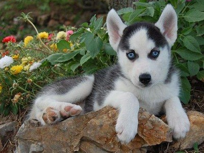 Cute Husky Puppies With Blue Eyes Wallpaper Cute Husky Pup With Blue Eyes