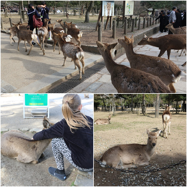 Nara Park is famous for deer and the temples as the Japanese locals believe the deer are from the Gods in Japan