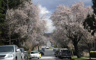 Very light pink blossom-filled street near my house