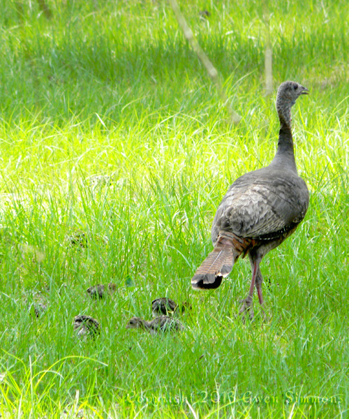Mama turkey and poults