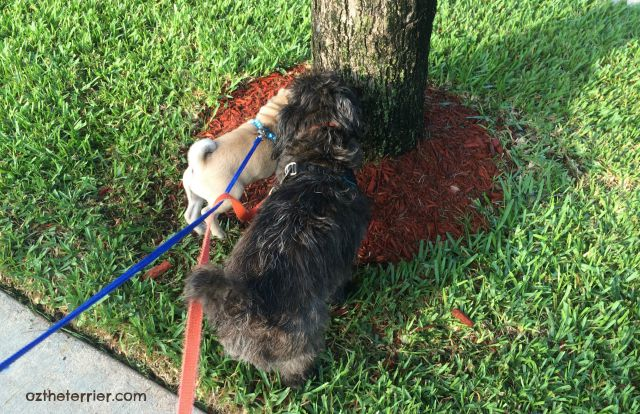 Oz the Terrier teaches puppy Pug Louie how to properly sniff a tree