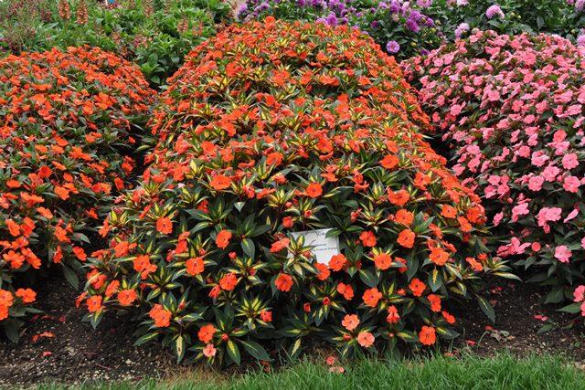 sunpatiens spreading tropical orange