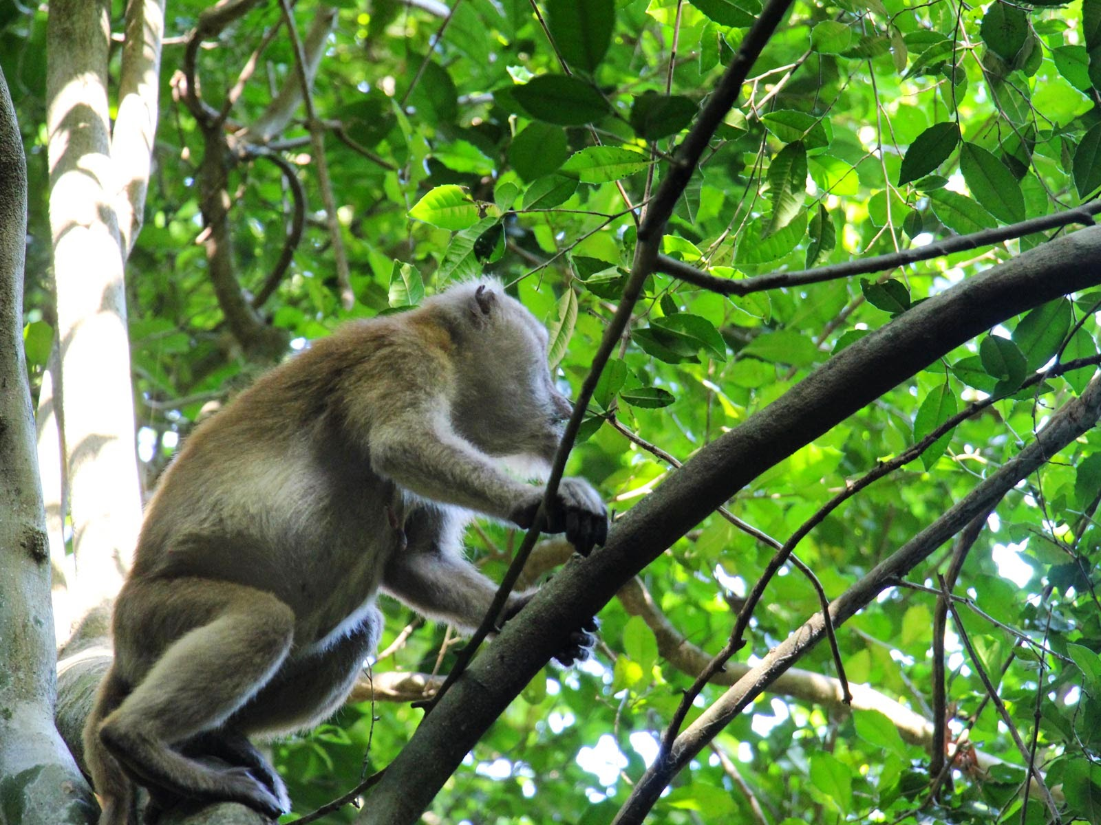 gibbon thaïlande