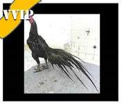 harga ayam hitam vip indah
