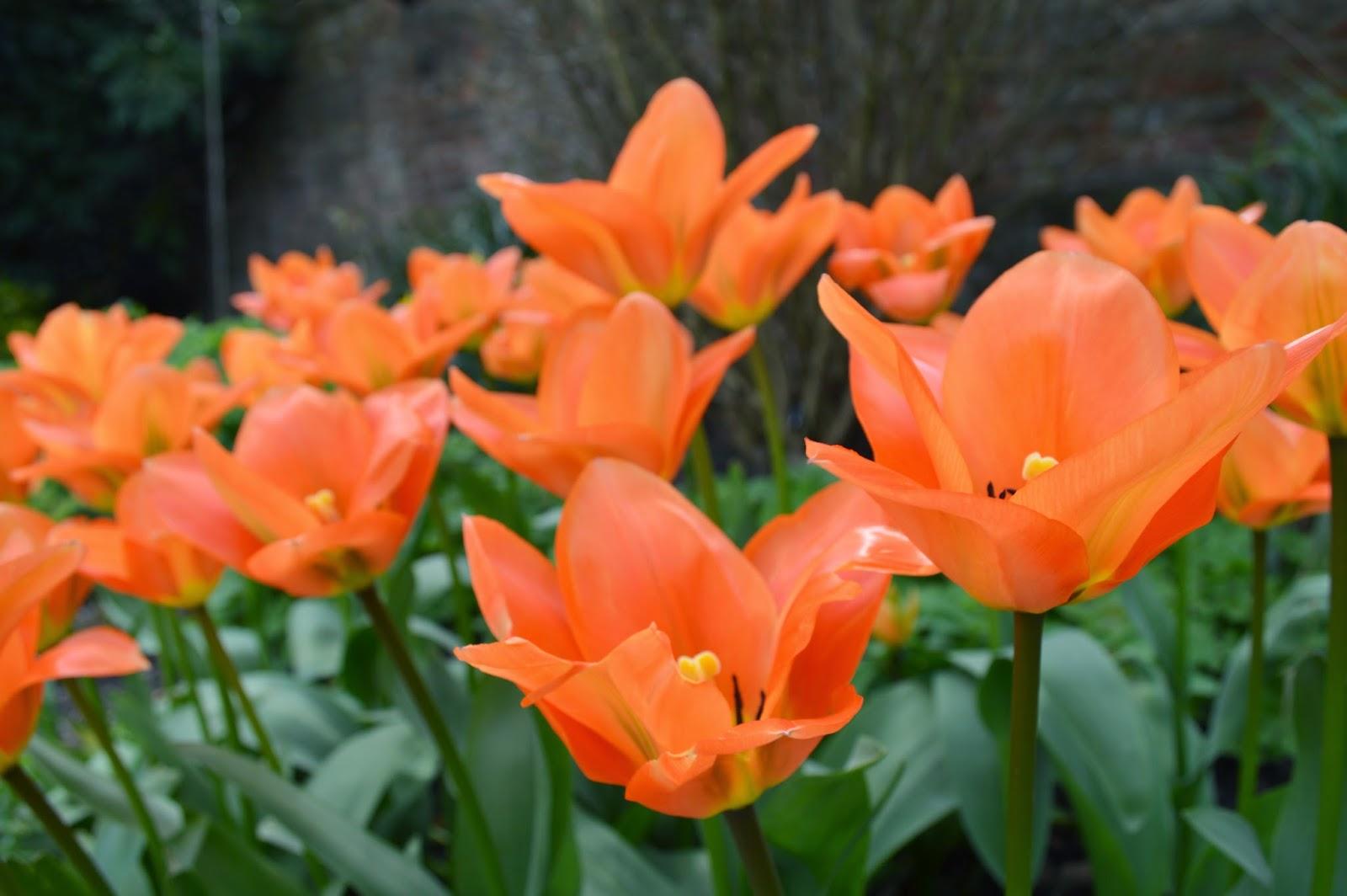 lots of orange flowers, pretty, field, garden, photograph