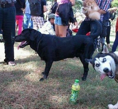 perro husky se mete en la foto