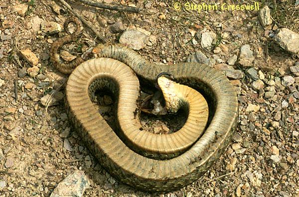 Curiosidades y ciencia - Página 23 Serpiente+haciendose+la+muerta