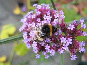 Bees love verbena