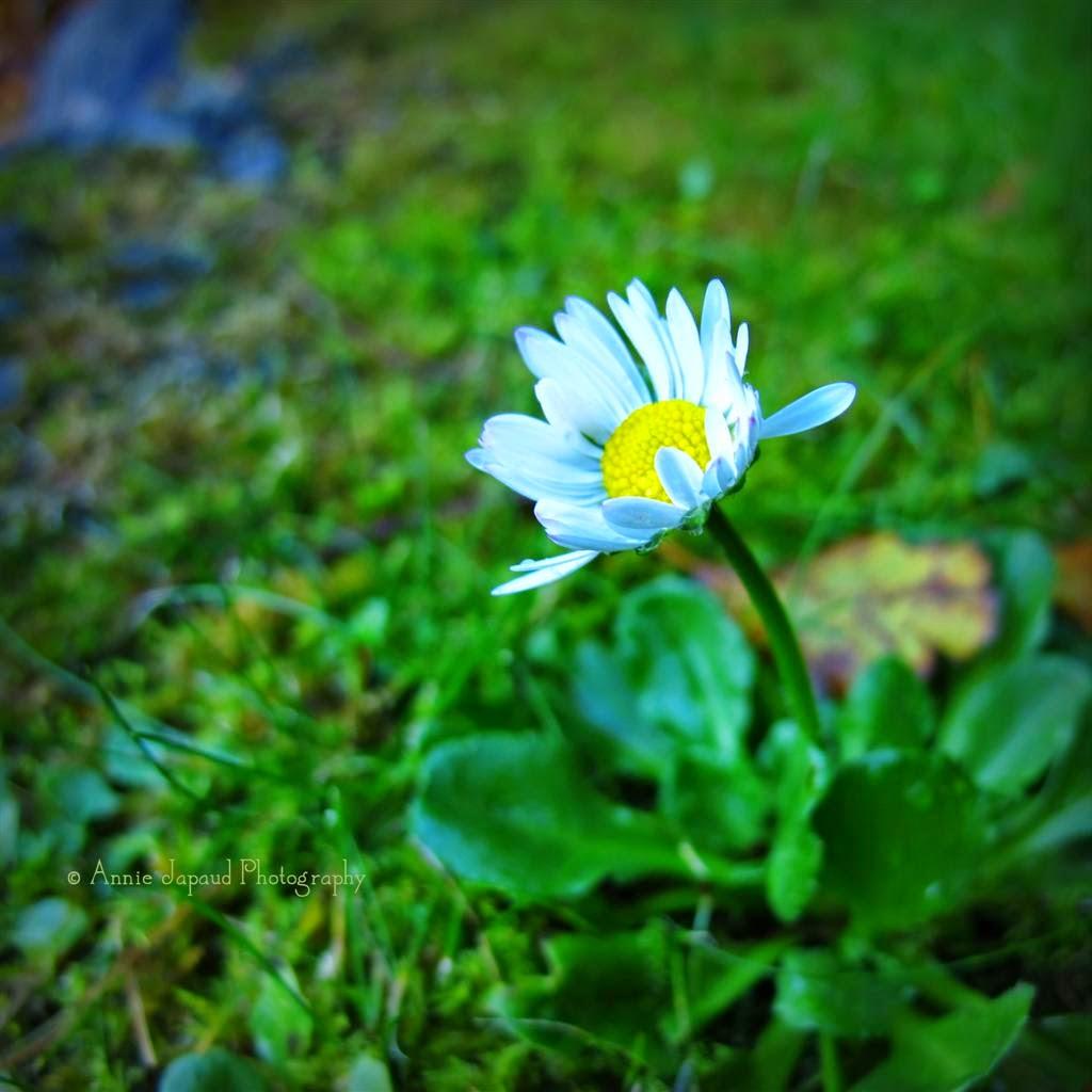 daisy macro