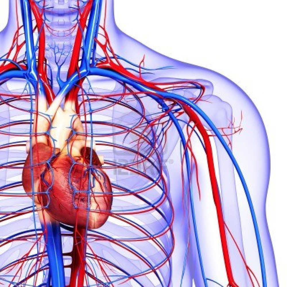 heart circulatory system The circulatory system includes the heart, blood vessels and blood, and is vital for fighting diseases and maintaining homeostasis (proper temperature and ph balance) the system's main.