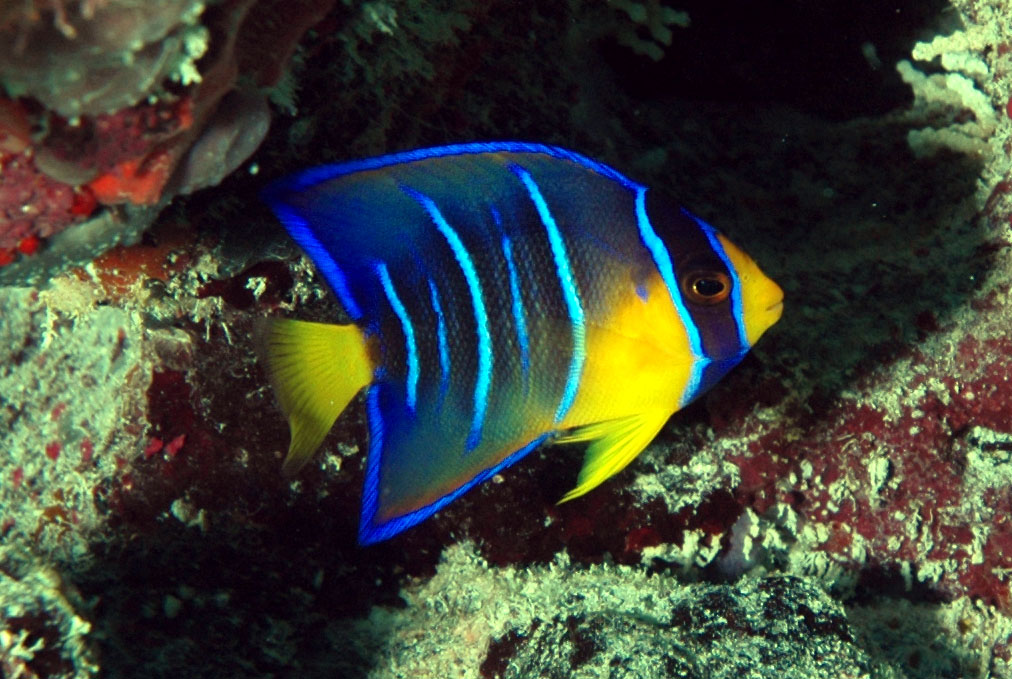 Angelfish ~ Aquatic Animals