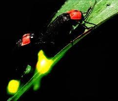 Kunang-kunang hebat