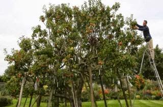 250 Jenis Apel Berbuah Dalam Satu Pohon