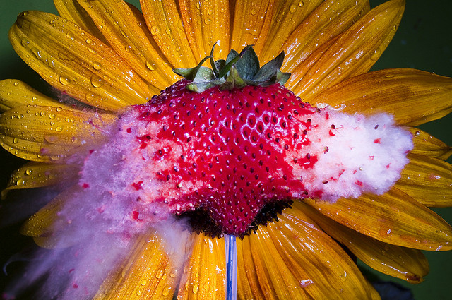 Sunberry or Strawflower