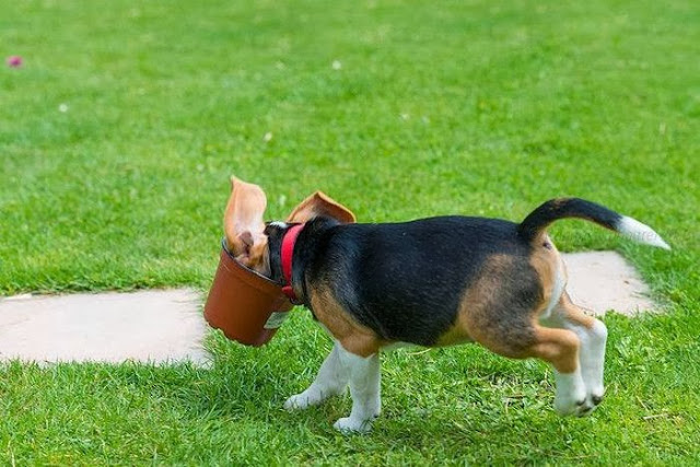 Beagle puppy vs flower pot (4 pics), beagle puppy pictures, funny beagle dog, cute beagle puppy, puppy pictures