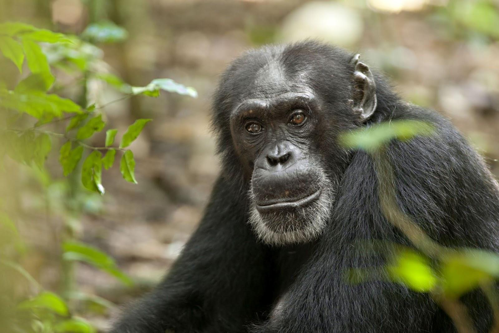 Chimpanzee on Life Cycles Of Animals