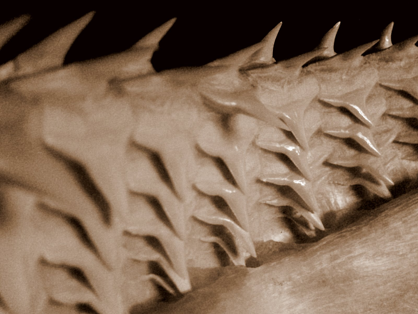 rows of shark teeth mouth of a great white you can see rows of teethPictures Of Sharks Teeth