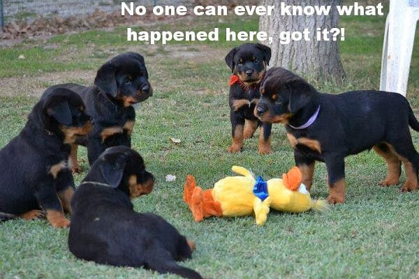 30 Funny animal captions - part 18 (30 pics), funny rottweiler puppy gang meme, no one can ever know what happened here