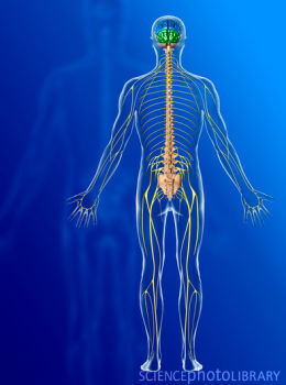 homeocity: nervous system disorders, Muscles