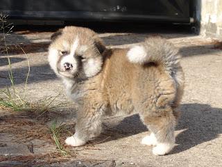 Cute American Akita Puppy
