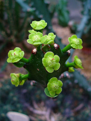 flora extinta Euphorbia Euphorbia mayurnathanii