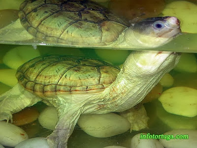 Claudius angustatus - Tortuga almizclera de peto pequeño