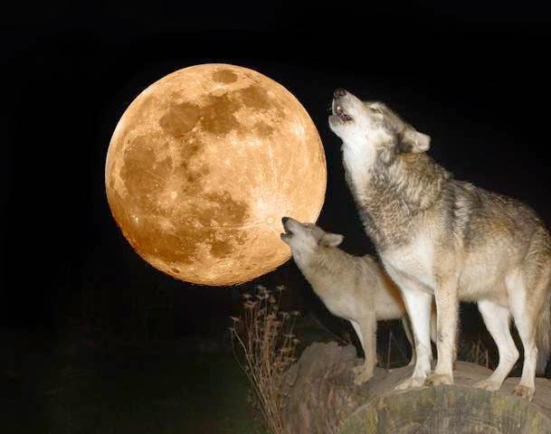 http://1.bp.blogspot.com/-ODX2aVuSUjs/VQiqwyU_fEI/AAAAAAAAyh0/usTO1dLY-2E/s1600/87160863-two-wolves.jpg