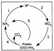 Taniaseptianaamira soal dan jawaban tentang daur biogeo kimia bagan berikut menunjukkan daur nitrogen proses nitrifikasi terjadi pada nomor ccuart Image collections