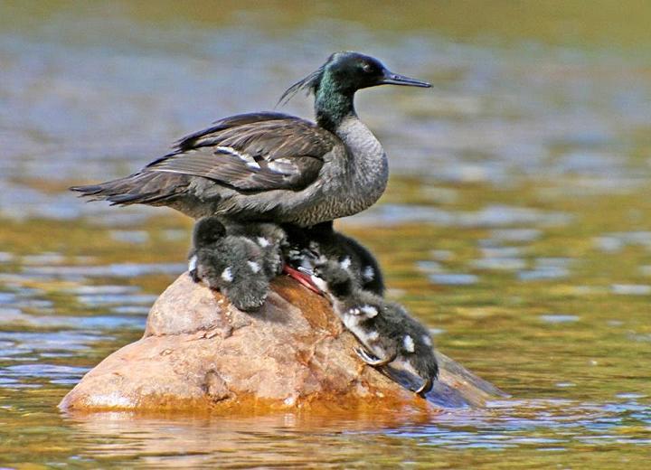 pato mergulhão filhotes