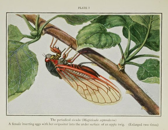 Periodical cicadas (Magicadas) are baffling to evolutionists with their timing to live, emerge, and die in unison. Also, they are beneficial, a product of the Creator's design.